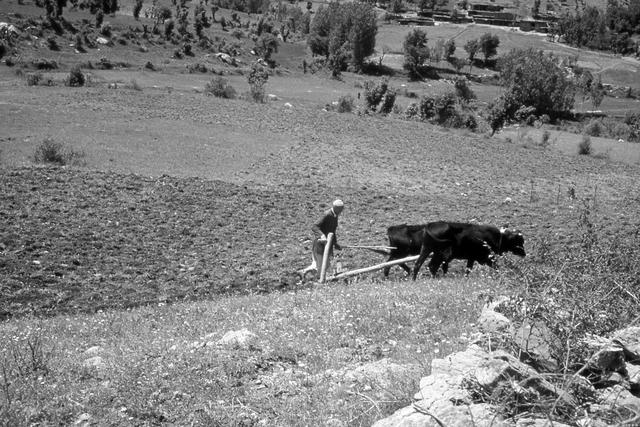 חורשים את האדמה עם פרות