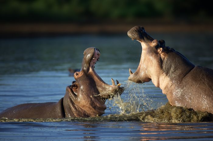 bigstock-Two-fighting-hippos-Hippopota-55260536.jpg